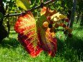 Czytaj więcej: Winobranie w Szwajcarii